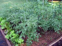 tomato garden bed