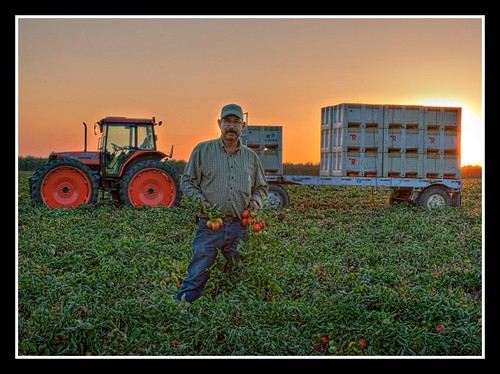 Foreman in Tomato Field
