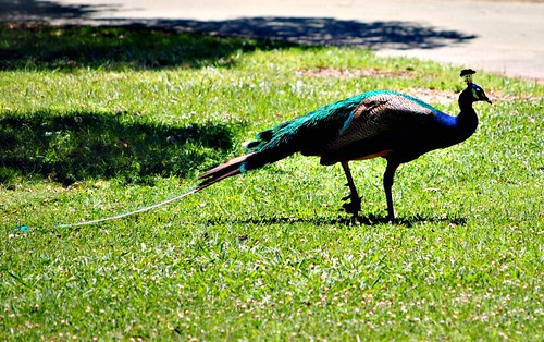 peacock_side_view
