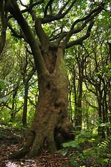 Kohekohe (Dysoxylum spectabile) (Steve Attwood) Tags: newzealand tree canon wellington floweringtree kohekohe otariwiltonsbush dysoxylumspectabile dysoxylum