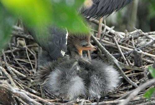 Newborn Heron Chick