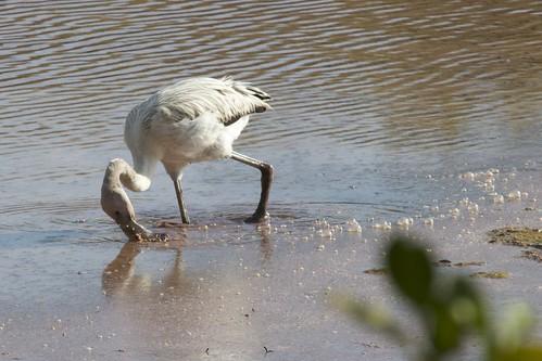 Juvenile Greater Flamingo  (Phoenicopterus ruber) Feeding