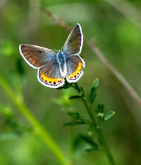 Lupine Blue (buffalo_jbs01) Tags: butterfly d200 henrycoe naturesfinest buzznbugz lupineblue plebejuslupini créatitudesnolimits
