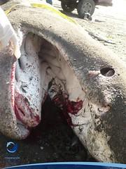 cmaximus23 (Tiburones Chile) Tags: chile peregrino diversidad biodiversidad especieamenazada tiburonperegrino ¿sabiasquedescubre