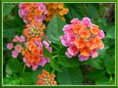 Lantana camara (pink and orange flowers)