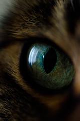 eye of the tiger (NikB.) Tags: pets macro eye animals closeup cat eyes kitty rico meow 60mm