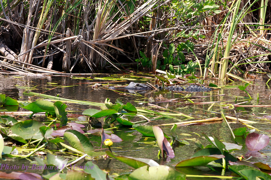 Everglades-Airboat Tour (9 of 16)