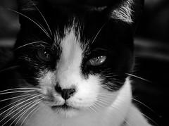 Close-up felino