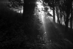 sunbeams in black and white (LOLO Italiana) Tags: sanfrancisco ca trees blackandwhite nature fog forest sunrise landscape sunburst sunbeams mountdavidson sunshiningthroughthetrees