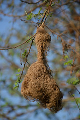 Weaver bird nest ([s e l v i n]) Tags: india tree bird nature nest branches bombay weaver mumbai weaverbird birdphotography bhandup ©selvin bhanduppumpstation