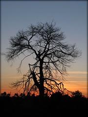 (Jennifer Bradford) Tags: silhouette sundown thattree flickrsmasterpieces