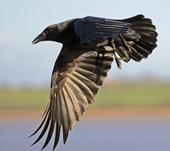Flying Crow (richard.heeks) Tags: light detail bird closeup flying amazing wings aperture image quality flight wing feathers sigma sharp crow iq f28 tack 150mm heeks turflocks exeestuary nikond90