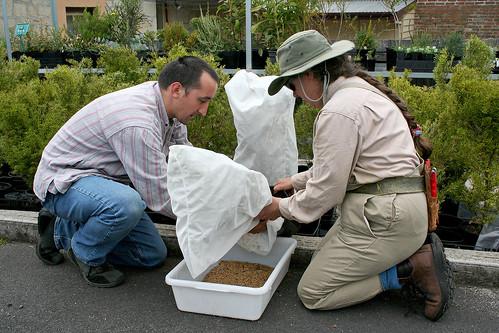 Phebalium harvest (iii)