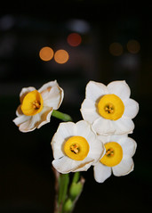 (lauren beaton) Tags: white flower yellow canon bokeh rebelxt punahou project365 january2009 project3661 project365day22 project365january09