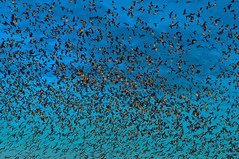 Copy Paste (aqui-ali) Tags: california ca sunset usa bird birds fly geese flock flight fv5 knot string migration blizzard chevron plump artois snowgoose gap092 aquiali:a=1