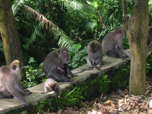 Aapjes in Monkey Forest