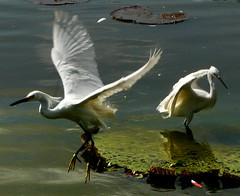 Egrets 09 -f (land.nick) Tags: nature birds lago flying rainforest vitriargia garas herons egrets amazonia tropicalforest bej theperfectphotographer
