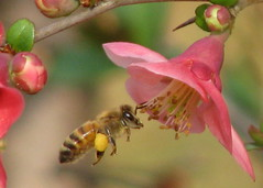 at last - first bee at flowering quince (Vicki's Nature) Tags: pink flower yard canon georgia bee bloom pollen quince s5 floweringquince naturesfinest blueribbonwinner colorphotoaward natureoutpost goldstaraward vickisnature 100commentgroup bwcgsignsofspring goldstarawardcontest59 bwcgblossomstreeshrub bwcgpollen