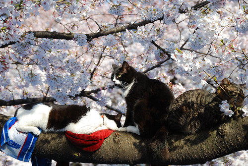 Hanami(Cherry Blossom), Sakura and Cat... by Jabed