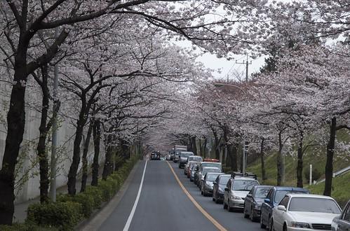 20090404桜@松戸