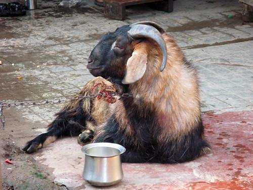 Hairy goat in Calcutta, India