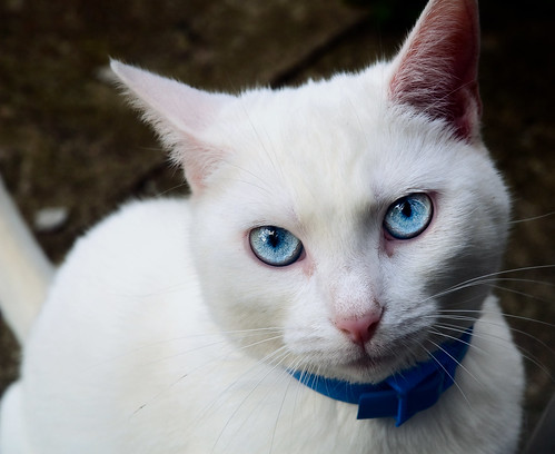 White Cat With Blue Eyes 39