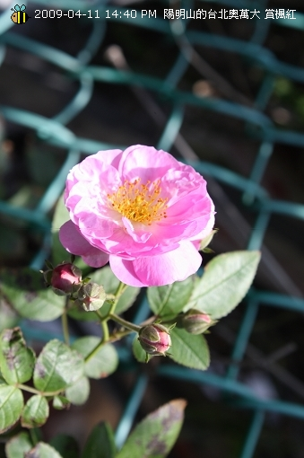 09.04.11 漂亮的爬藤薔薇@陽明山 (9)