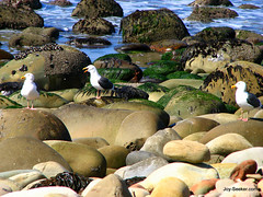 Seagulls on rocks (Kimballville (historical), California, United States) Photo