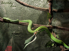 serpiente2 (IsmeLiu) Tags: snake culebra serpiente animalquesearrastra