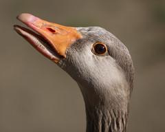 Greylag (Mark_Coates) Tags: orange detail grey geese close beak goose sharp hiss hissing greylag featheryfriday abigfave platinumphoto gmc1jun2013 donotuseinblogwithoutexpresspermission