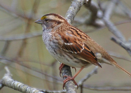 White-throated sparrow, Zonotrichia albicollis