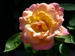 Thank You Mr. Sun (Trish Mayo) Tags: roses newyork bronx macros nybg masterphotos newyorkbotanicgarden