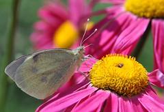 butterfly (David DIzerens) Tags: macro butterfly insect nikon potofgold d90 blueribbonwinner supershot 123nature golddragon citrit macrolife goldstaraward unenaturepure