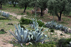 Agave Near Moulay Idriss (MykReeve) Tags: trees plants plant tree morocco agave aloevera moulayidriss    geo:lat=3406053 geo:lon=5527185