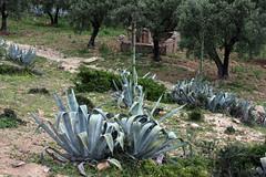 Agave Near Moulay Idriss (MykReeve) Tags: trees plants plant tree morocco agave aloevera moulayidriss المملكةالمغربية المغرب مولايإدريس geo:lat=3406053 geo:lon=5527185