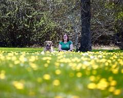 Best Buds (Back in the Pack) Tags: friends summer dog calgary dogs field grass goldenretriever puppy spring sitting best cheryl 5d buds winston dandelions dogdaycare 135mmf2l 5dmarkii wwwbackinthepackca eos5dmarkii albertabarks dandetown