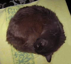 Blueboy, snoozing on the kitchen table (Hairlover) Tags: pet cats pets public cat kitten kitty kittens kitties oldcat 25yearsold agedcat hairlover allcatsnopeople