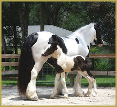 New filly Livianna! Born May 18 2009 (The Pelton Vanners Gypsy Vanner Horses) Tags: horses horse gypsy foal gypsyvanner gypsyhorse thepeltonvanners