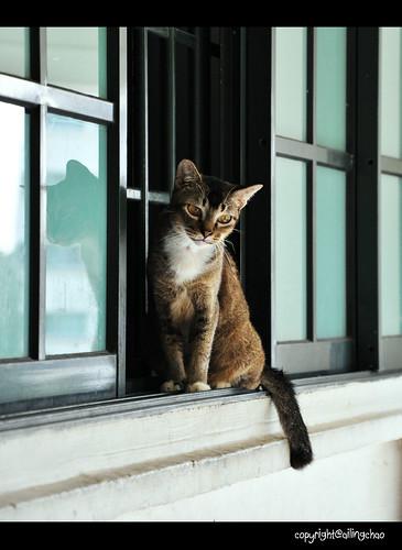 鄰居的貓咪