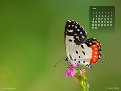 Red Pierrot (swaheel) Tags: red wallpaper india macro green art nature beauty june closeup digital canon butterfly insect eos rebel kiss calendar zoom bokeh bangalore kerala pierrot efs xsi x2 kottakkal karanataka butterflyindia bengaluru 450d malappuram 55250 swaheel 55250is