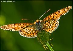 20090523_7814 (Lino Sgaravizzi ) Tags: vanessa macro natura soe insetti beautifulphoto farafalle valtiberina colorphotoaward platinumheartaward