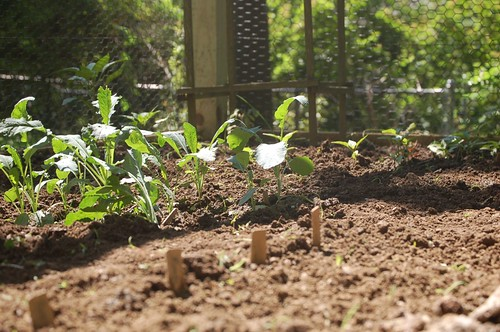 7 steps start indoor cherry tomato garden.  the kale is doing well