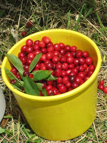 cherry 070
