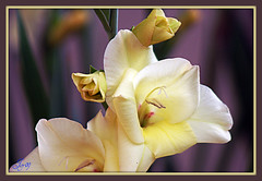 Mes premiers glaïeuls. (Joy Bajay) Tags: white flower nature fleur morbihan blanc mfcc glaieul joyr kermaux