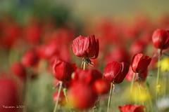 Red (kezwan) Tags: flower kezwan 1on1flowers