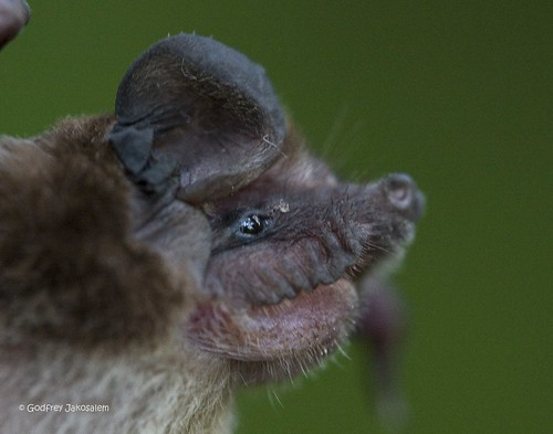 Wrinkle lipped bats. Thank you to who posted this pic