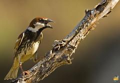 Pardal espanhol (GRLima) Tags: pardal passer espanhol hispaniolensis spanishsparrow pardalespanhol bfgreatesthits