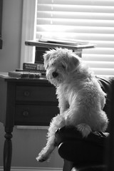 Hey..you lookin at me? (The Dolly Mama) Tags: summer dog cute big cut schnauzer before chester terrier rescued