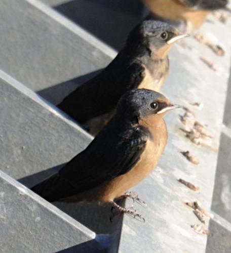 Barn Swallow - juvs