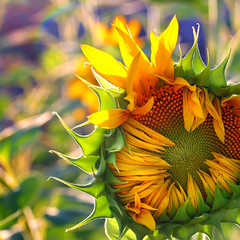 the sun will shine tomorrow... (janoid) Tags: hearts alpine chapeau sunflower mybabies mybackyard heartshaped xoxox doyouseeit milesofsmiles janoidmagic